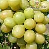 Саженцы винограда сорт Благовест