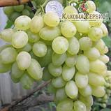Саженцы винограда сорт Ванюша, фото 2