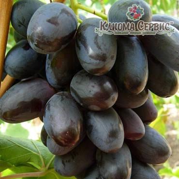 Саджанці винограду сорт Велика, фото 2