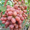 Саженцы винограда сорт Гурман Ранний