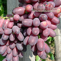 Саженцы винограда сорт Кармакод
