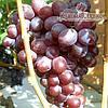 Саженцы винограда сорт Сенатор