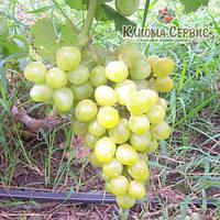 Саженцы винограда сорт Сичеслав