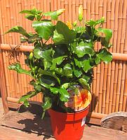 Гибискус(Hibiscus) санни Aviero