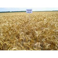"""Семена озимой пшеницы """"Лесовая песня"""" єлит"""