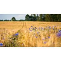"""Семена озимой пшеницы """"Шпаловка"""" єлит"""
