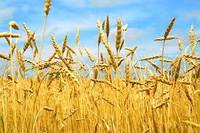 """Семена озимой пшеницы """" Антоновка """" 1 репродукция"""