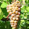 Саженцы винограда сорт Дублянський