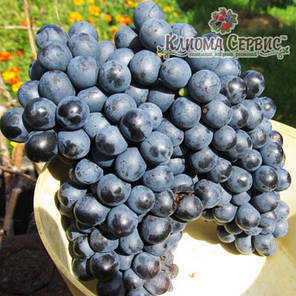 Саженцы винограда сорт Красень, фото 2