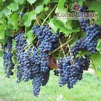 Саженцы винограда сорт Маркетт