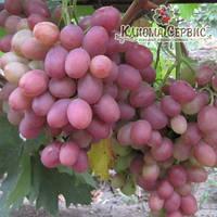 Саженцы винограда сорт Рубиновый Юбилей