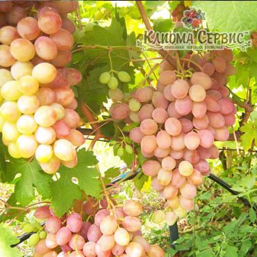 Саженцы винограда сорт Румба, фото 2