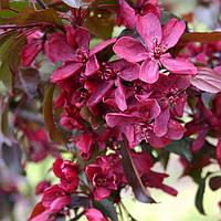 Яблуня декоративна Роялті