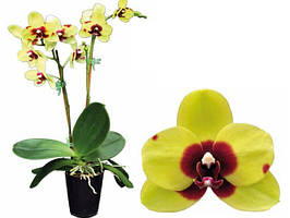 Орхидеи (фаленопсис)