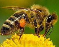 Пчелы – это мед