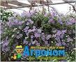 """Семена цветов Бакопа Блутопия, синяя, однолетнее, 20 гранул, """"Садыба Центр """",  Украина"""