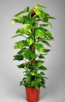 Опора-кокос для растений, 50 см, фото 1