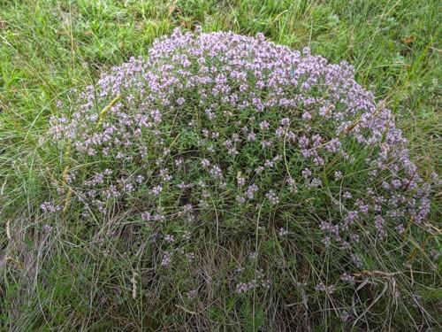 Чебрез(лекарственная трава)