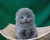 Купить шотландского котенка в краматорске