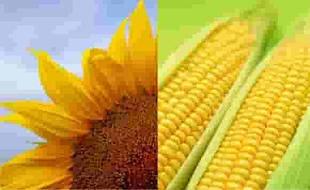 Семена полевых культур