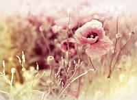 """Фотообои цветы """"Мак"""""""