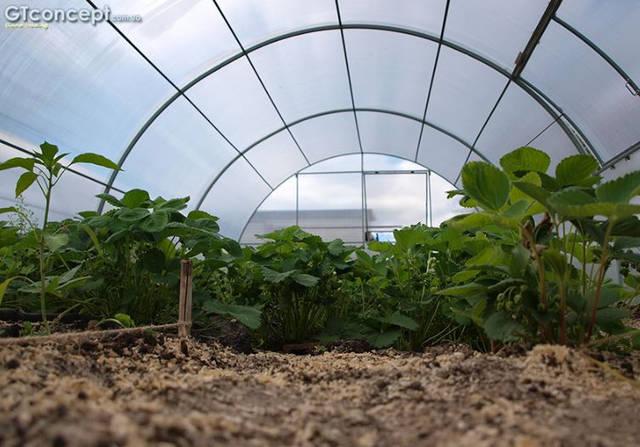 Тепличный комплекс для круглогодичного выращивания клубники 24