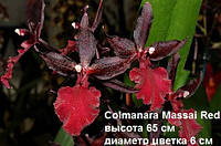 Подростки орхидеи. Colmanara  Massai red