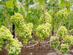 Саджанці винограду Талісман