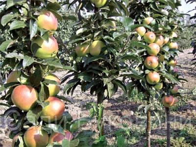 Саджанці колоновидної яблуні Останкіно