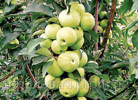 Саженцы колоновидной яблони Трайденг