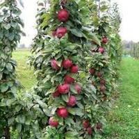 Саженцы колоновидной яблони Джина