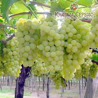 Виноград Суперекстра (Superekstra)