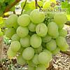 Саженці винограда сорт Талисман