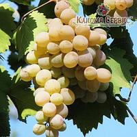 Саженцы винограда сорт Бьянка