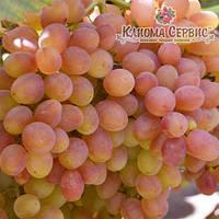 Саженцы винограда сорт Кишмыш Велес