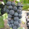 Саженцы винограда сорт Магия