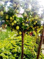 Крыжовник штамбовый Зелёный дождь