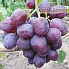 Саженцы винограда сорт Низина