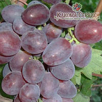 Саженцы винограда сорт Нинель