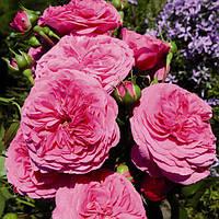 Роза чайно-гибридная Баронесса