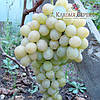 Саженцы винограда сорт Рафинад