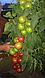 Семена томата Берберана F1 \ Berberana  F1  Enza Zaden 500 семян, фото 6