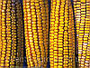 Куплю кукурудзу!!!, фото 5