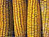 Куплю кукурузу!!!, фото 5