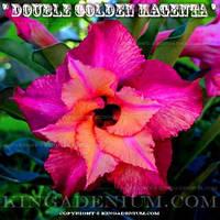 Адениум семена Double Golden Magenta