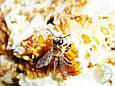 Забрус (восковые крышечки), сотовый мёд, фото 4