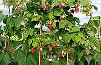 Малина Крепыш (малиновое дерево)