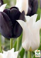 """Смесь тюльпанов """"Черно-Белый Микс"""" 12шт"""