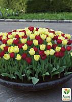 """Смесь тюльпанов """"Красно-Желтый Микс"""" 12шт"""