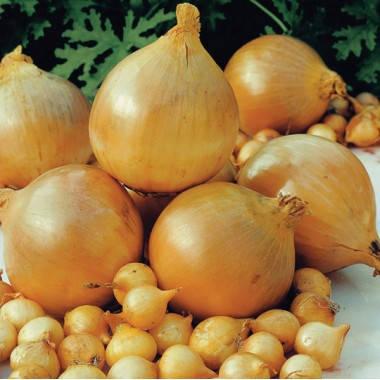 Озимый лук Шекспир 8/16 TOP Onions - 1 кг, фото 2